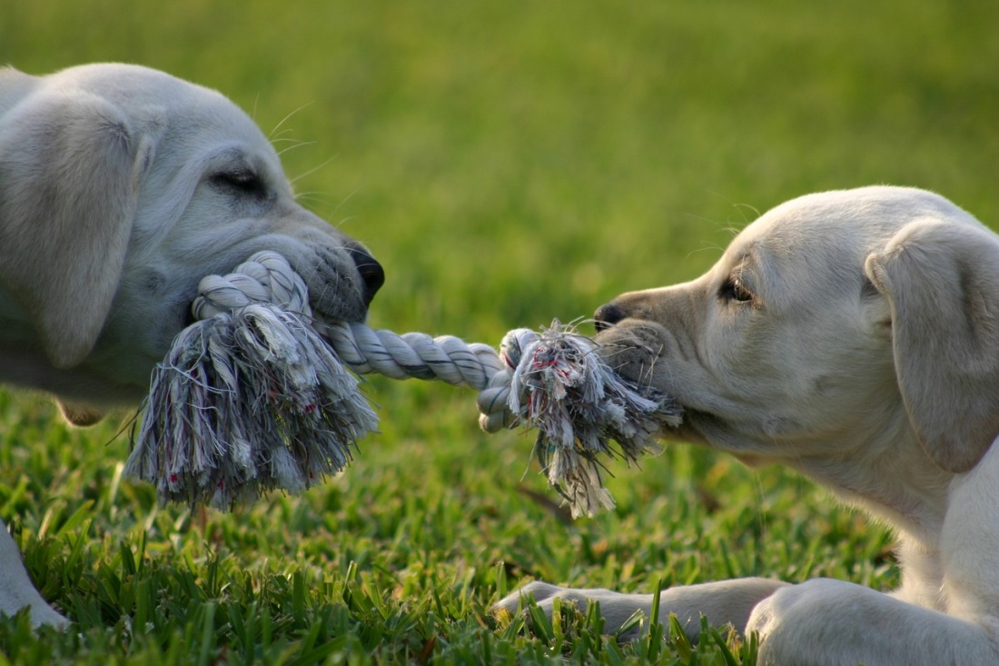 Two labradors facing each other, each holding and tugging on a rope toy.